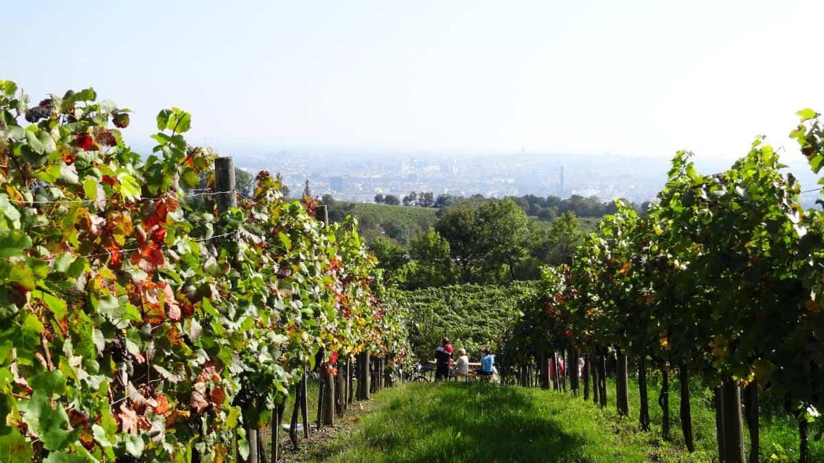 Blick in die Weinreben