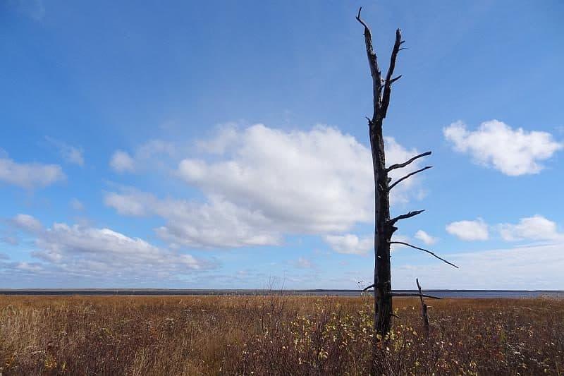 Alter Baum in den Salzmarschen des Kouchibouguac-Nationalparks
