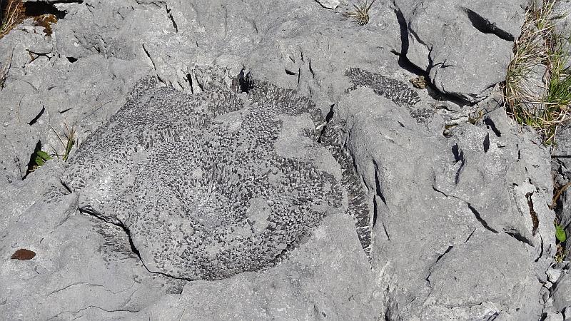 Versteinerte Korallen im The Burren National Park