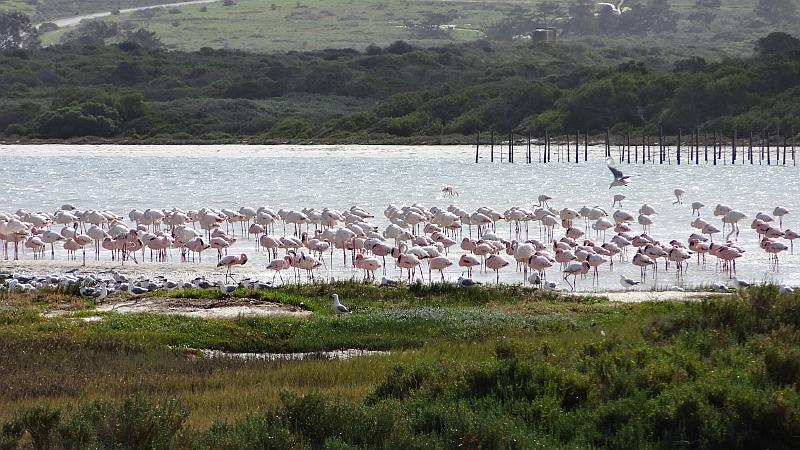 Flamingos am Western Cape