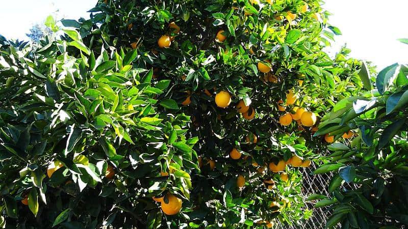 Orangenplantage Western Cape