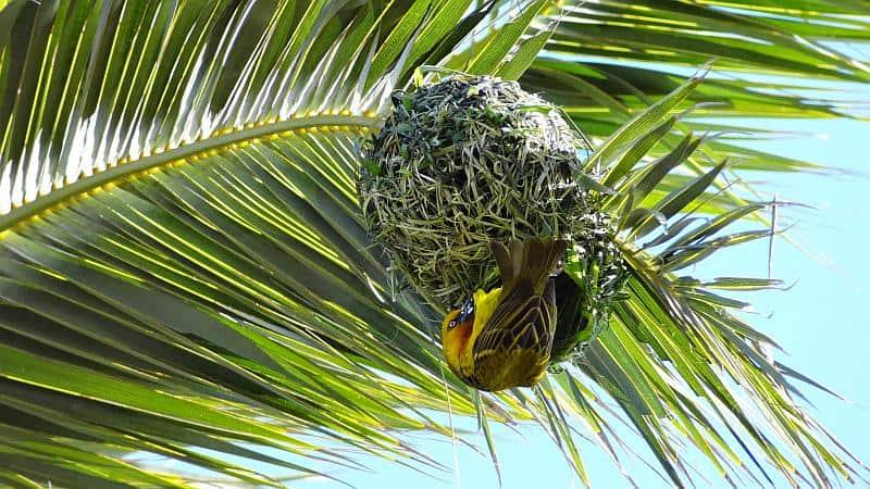 Webervogelnest am Western Cape