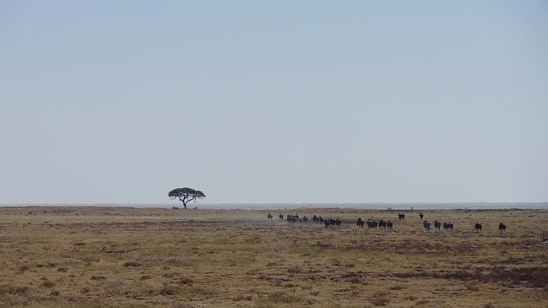 Gnus in Etosha