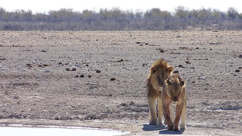 Löwen in Etosha