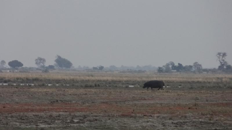 Flusspferd am Chobe