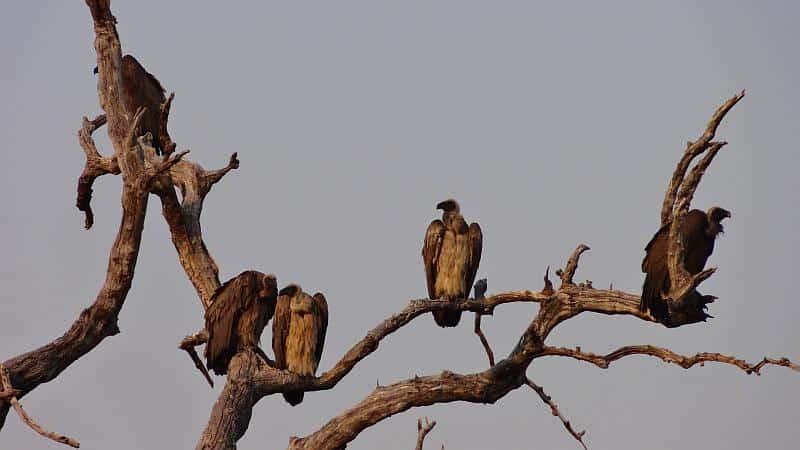 Geier im Chobe-Nationalpark