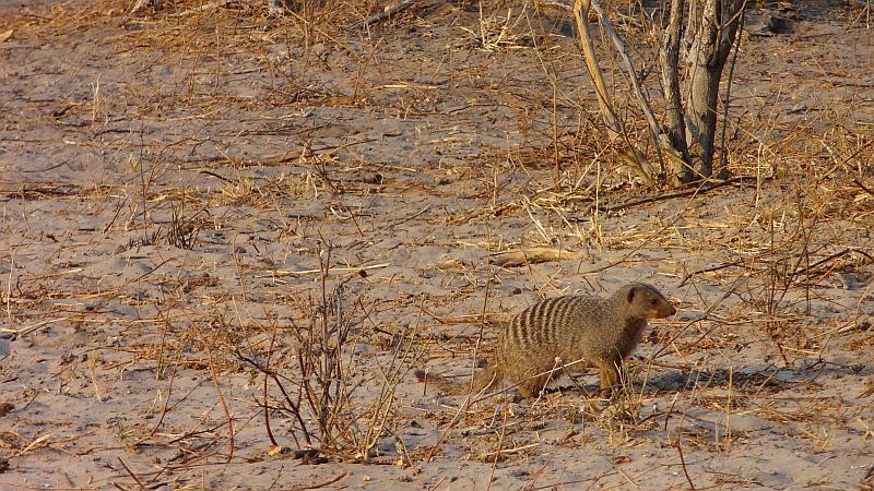 Streifenmanguste im Chobe-Nationalpark