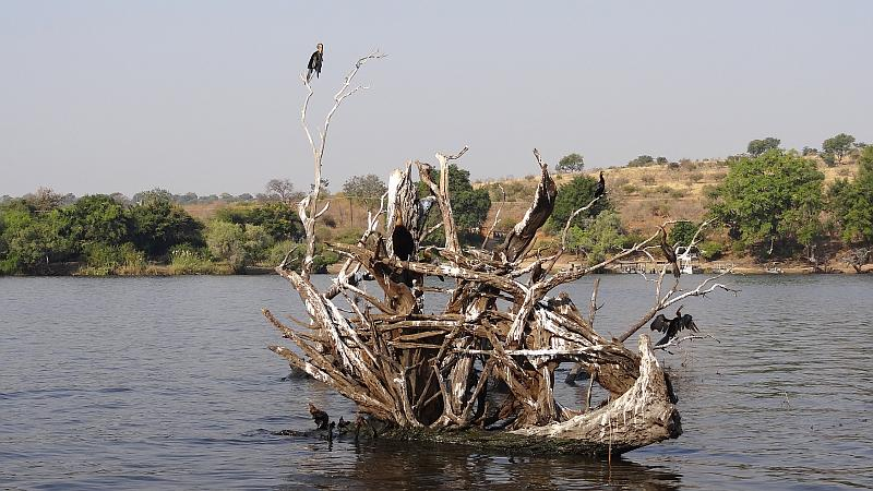 Schlangenhalsvögel im Chobe-Nationalpark