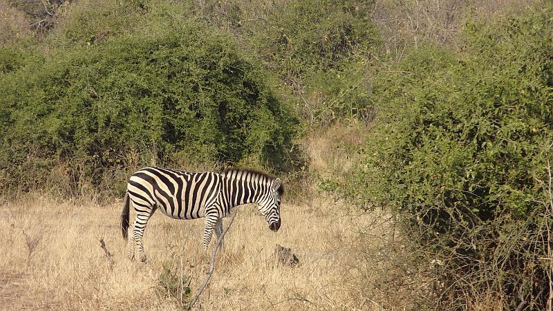 Zebra im Chobe-Nationalpark