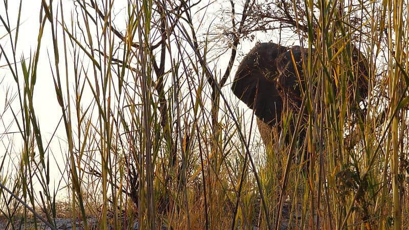 Elefant im Dickicht im Bwabwata-Nationalpark
