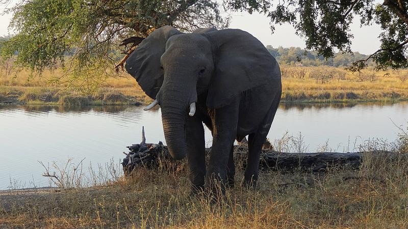 Neugierige Elefantenkuh im Bwabwata-Nationalpark