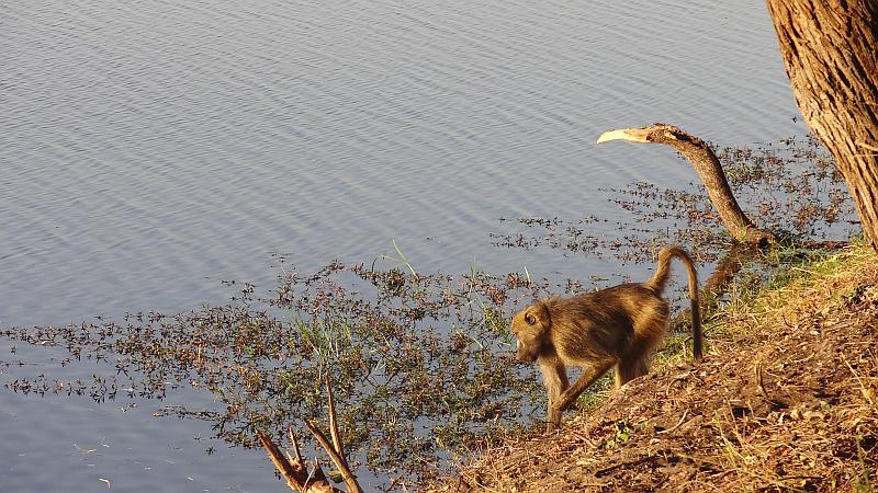 Pavian im Bwabwata-Nationalpark