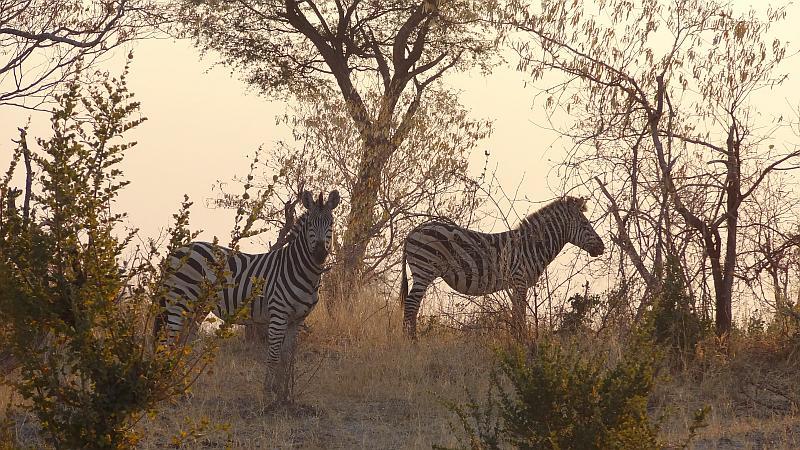 Zebras im im Bwabwata-Nationalpark