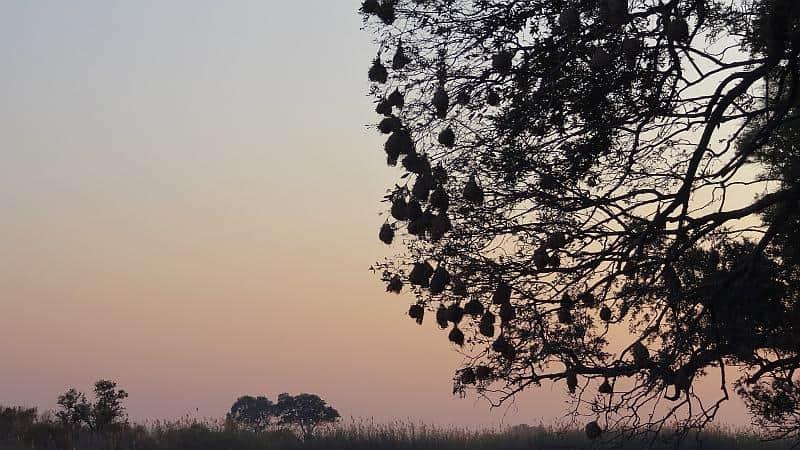 Webervogelnester im Bwabwata-Nationalpark