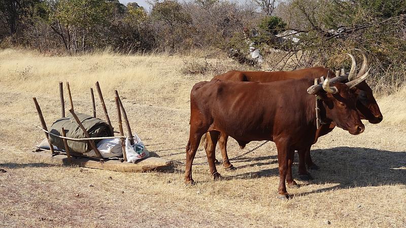 Ochsenschlitten in Kavango