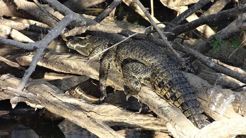Krokodil am Okavango