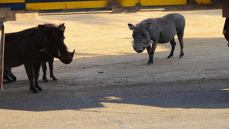 Warzenschweine im Niemandsland