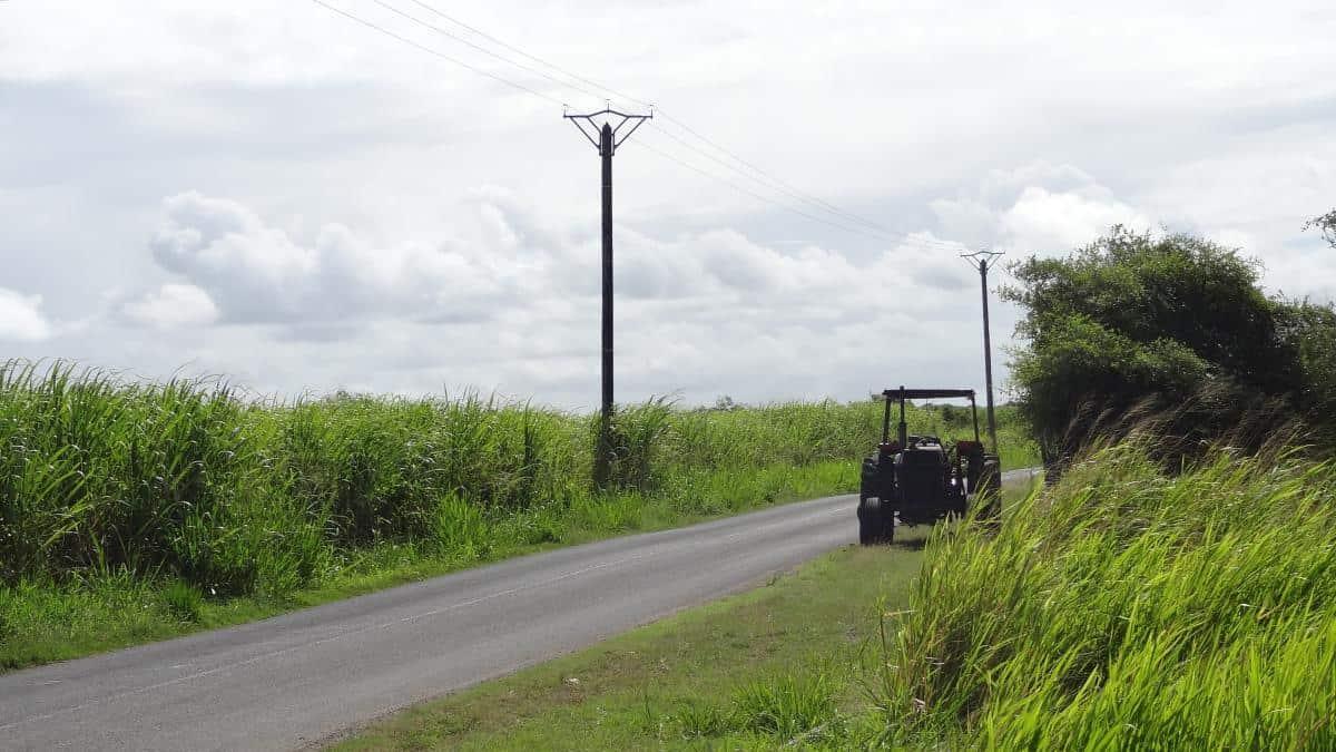 Zuckerrohrfeld auf Guadeloupe