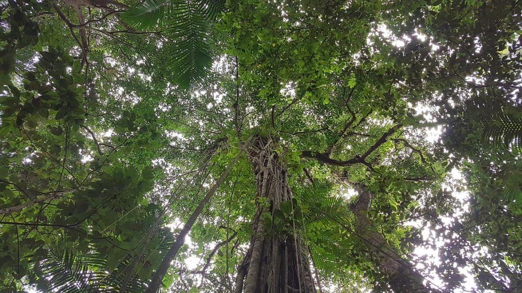 Würgefeige im Regenwald, Tag auf St. Lucia