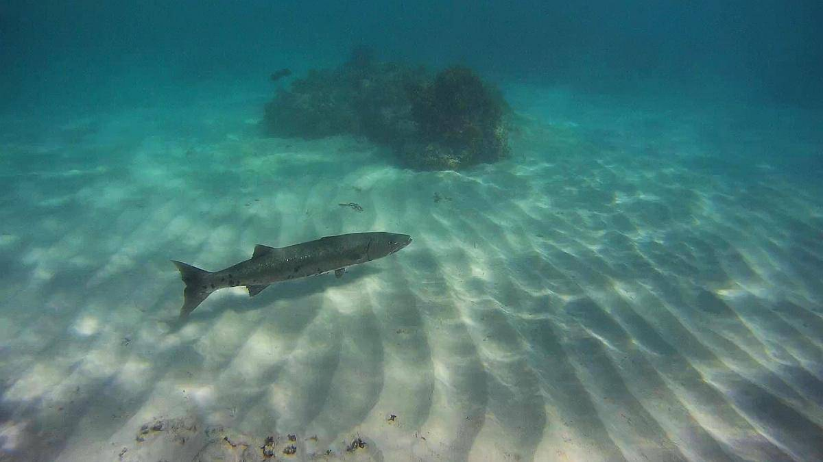 Barracuda, Isla Saona