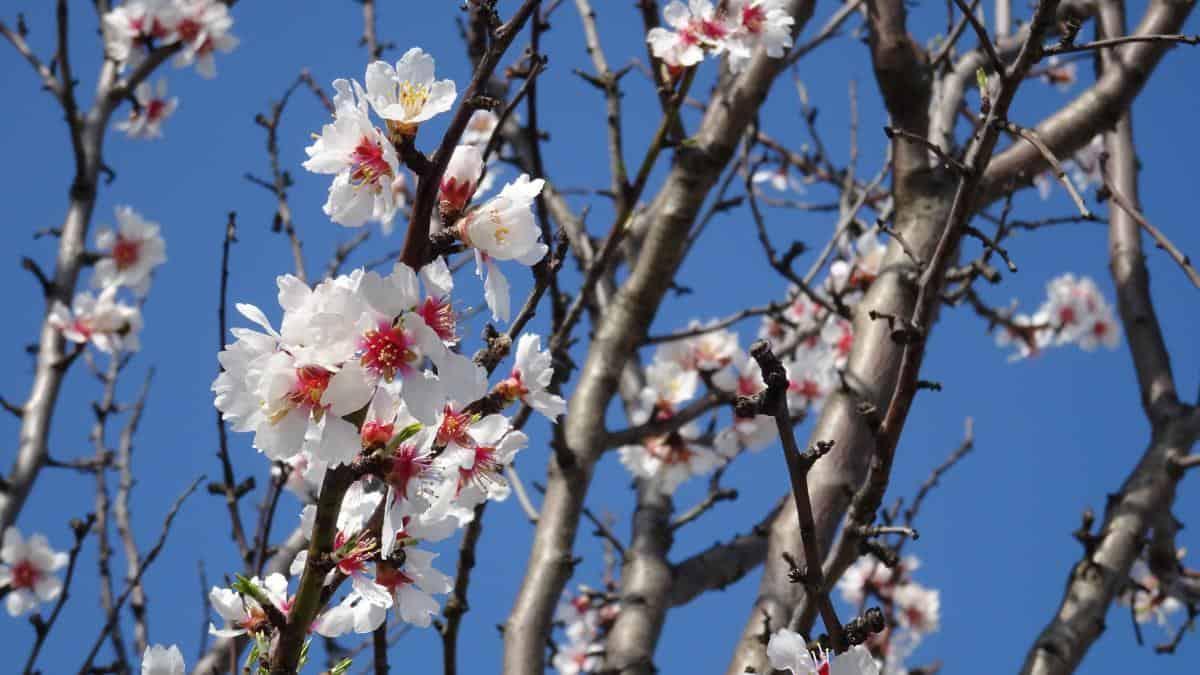 Mandelblüte am Neusiedler See