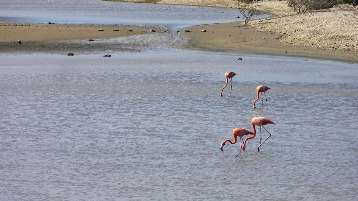 Flamingos in Curaçaos alten Salinen