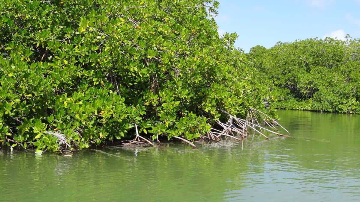 Mangrovenwald auf Bonaire