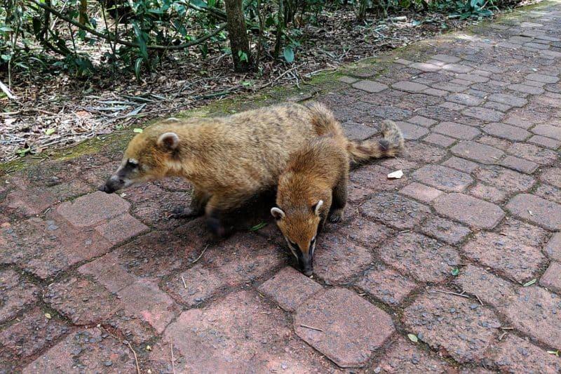 Nasenbären auf dem Wanderweg