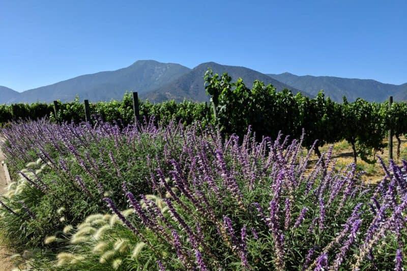 Weinreben und Blumen auf einem Weingut in Chile