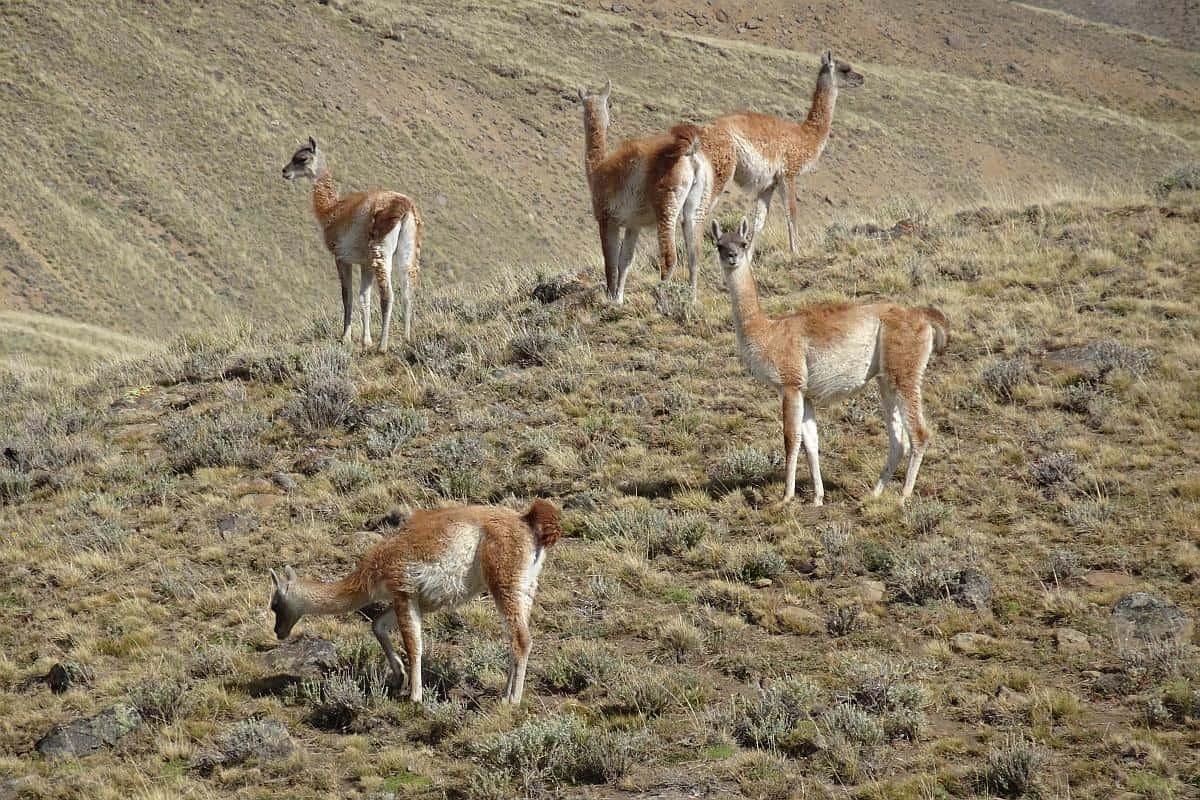 Guanakos in der Pampa