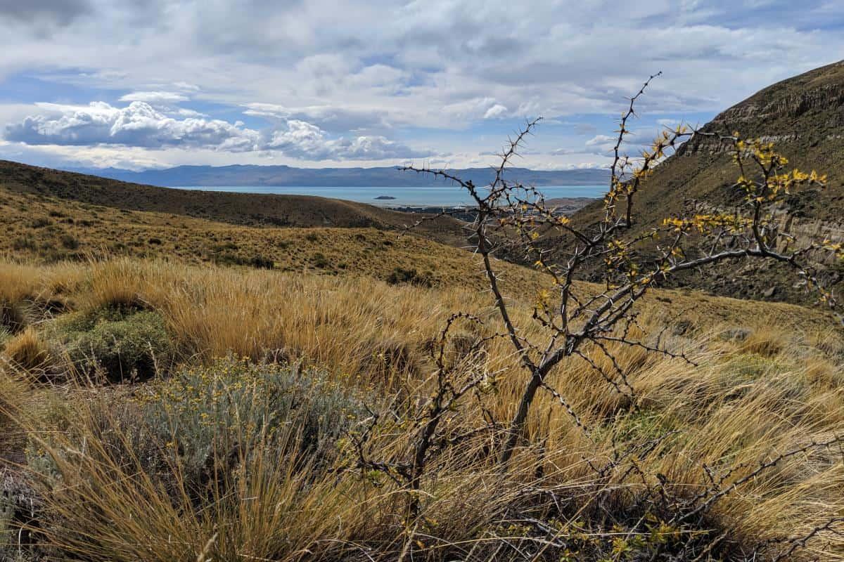 Fast verdorrter Calafate-Strauch in der Pampa