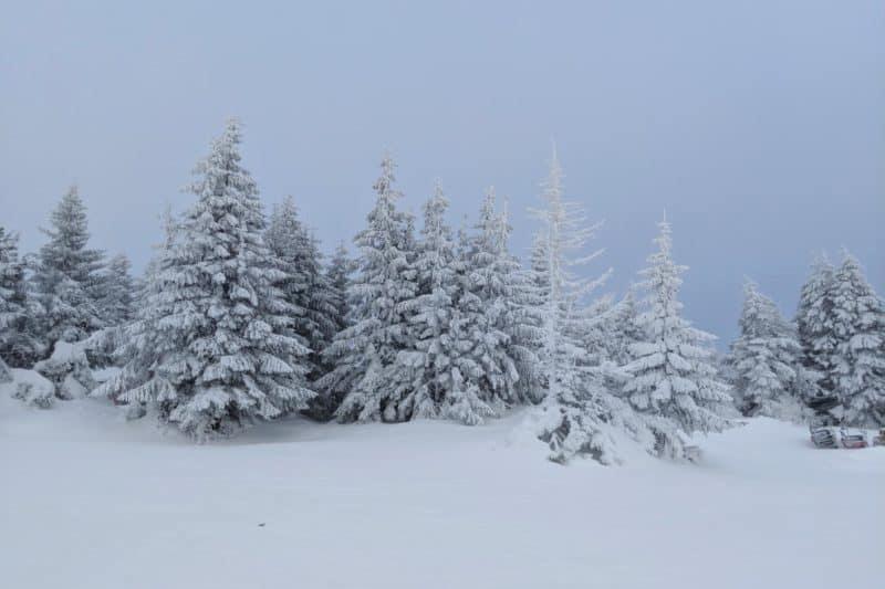 Verschneite Bäume in Kopaonik