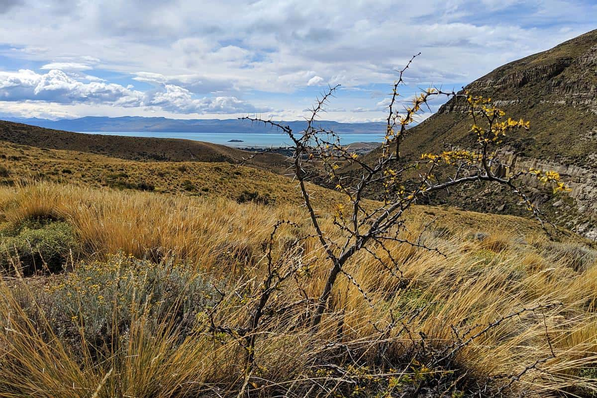 Calafate-Strauch in der Pampa
