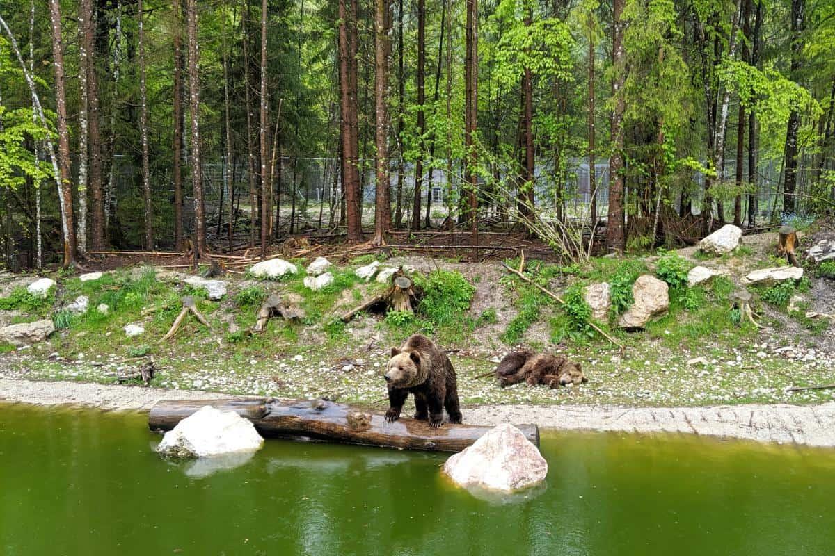 Braunbären im Cumberland Wildpark Grünau