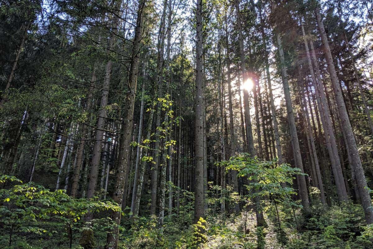 Sonne scheint durch die Bäume im Wald