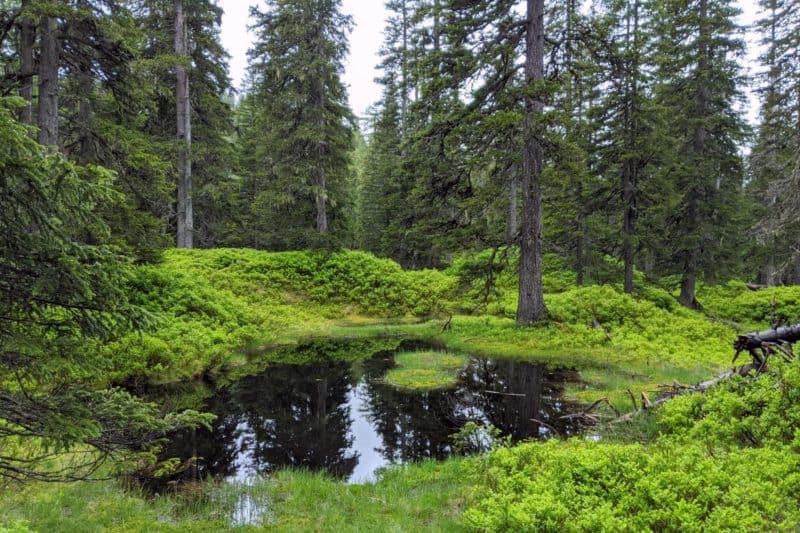 Schwarze Moorlacke im Rauriser Urwald, gerahmt von Moos und Nadelbäumen